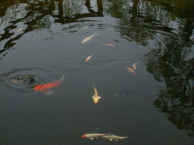 Pond fish and plants for Pond fish plants